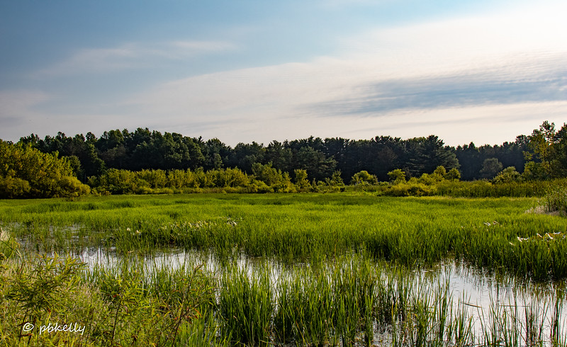 Late summer wetland view.  As you can see, this summer the wetlands got very grown in.  Not much open water.  082420.