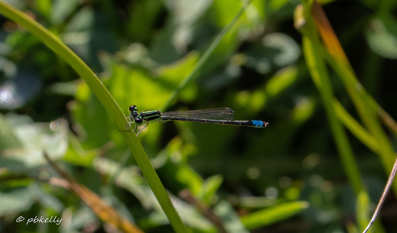 Eastern Forktail male.  This species is very common with a long flight time.  073120.