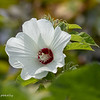 Swamp Mallow.  This started with one pink plant and now is in many places in the wetland, and in several different colors.  081420