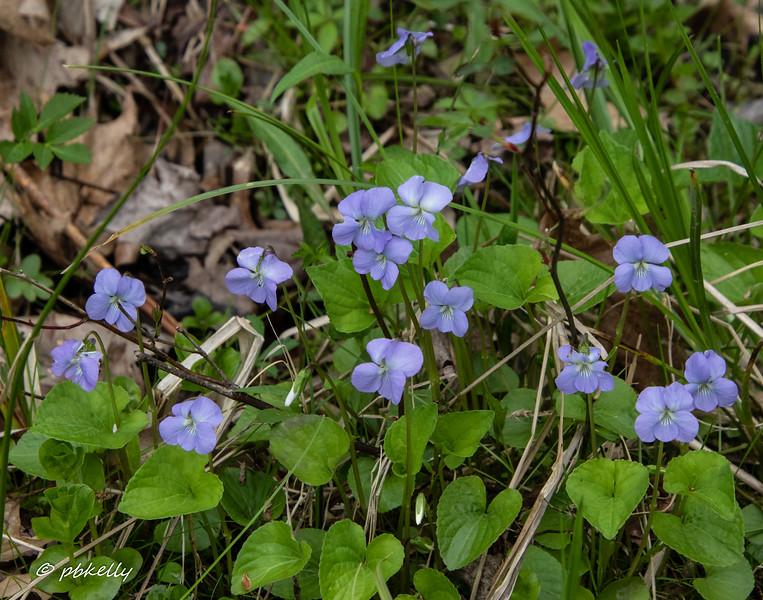 Light violets, one of several species of violet found here.  051720