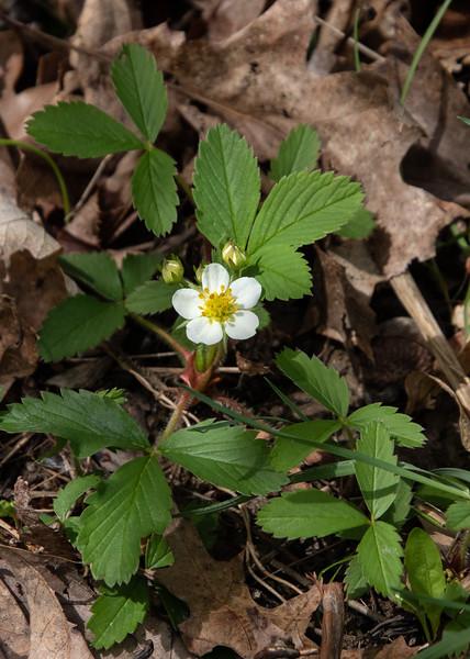 Wild Strawberry. 051620