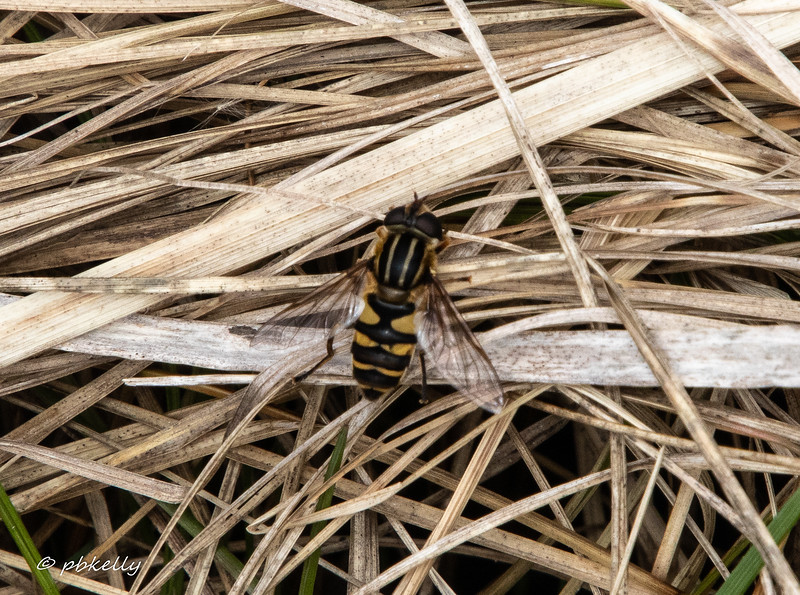 One of the earliest flower flies I see.  Maybe a Helophilus fasciatus, or Narrow-Headed Marsh Fly.  Corrections welcome.  040120.