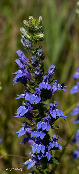 Giant Lobelia, another one of my late summer favorites.  082120