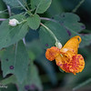 Jewelweed, or Spotted Touch-Me-Not.  090820
