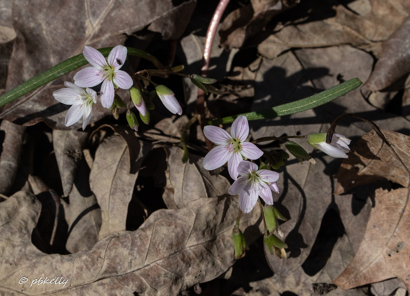 Spring Beauties, well named.  040320