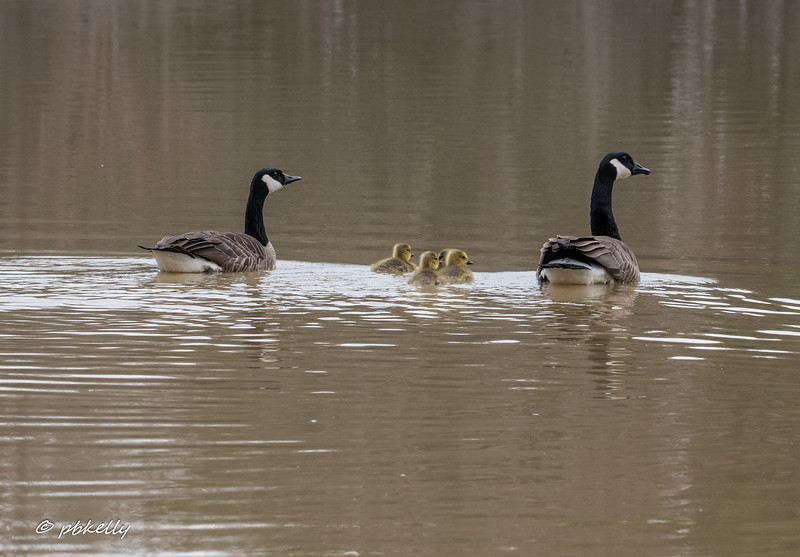 Toward the end of April, the goslings have hatched and are out with their parents. 042320