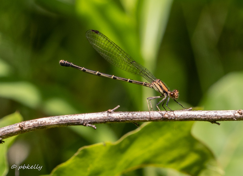 Another Blue-tipped Dancer.  This is the most common Dancer in the area.  061620