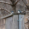 Tree Swallows checking out the Bluebird boxes for a new nest.  More of the nest boxes are used by Tree Swallows than Bluebirds here.  040120