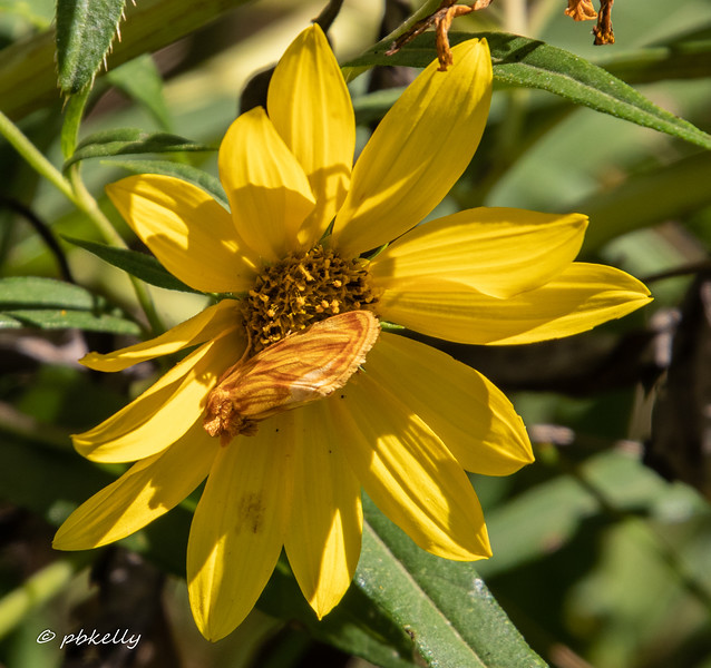 Every year I hunt for this creature.  It is called a Goldenrod Stowaway Moth, and although I have seen it on Sneezeweed and this Tickseed Sunflower, never on Goldenrod!  It looks like you could pet it.  090420.