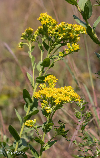 Every year I think I am going to identify and catalog the different types of Goldenrod present at CSW, and every year it gets overwhelming.  This one is Flat-topped Goldenrod  090820.