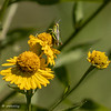 A Grasshopper on the Sneezeweed.  082020