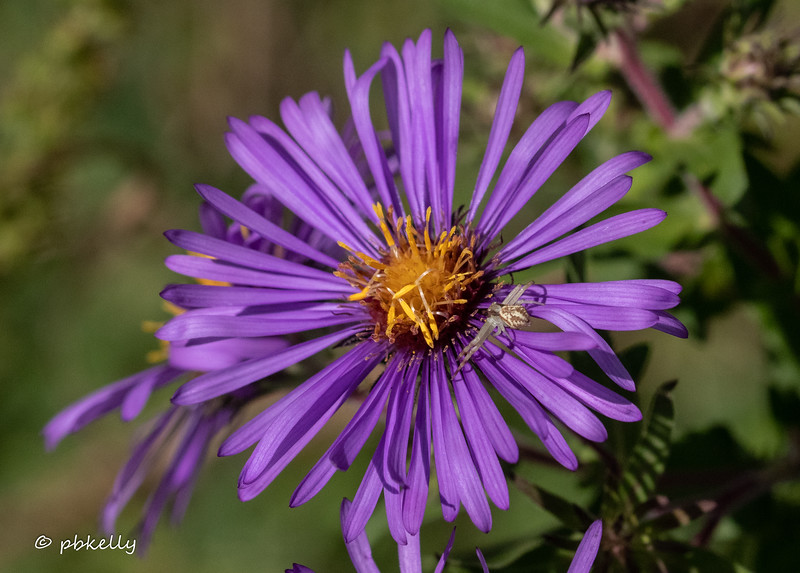 New England Aster with a Crab Spider.  090820.