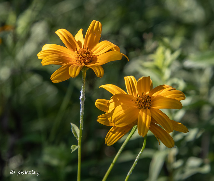 One of the several wild sunflower species.  080820.
