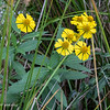 Cluster of Sneezeweed all by itself 092720.