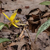 One of many Trout Lilies blooming at this time.  041920