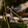 Slender Spreadwing female. 082020