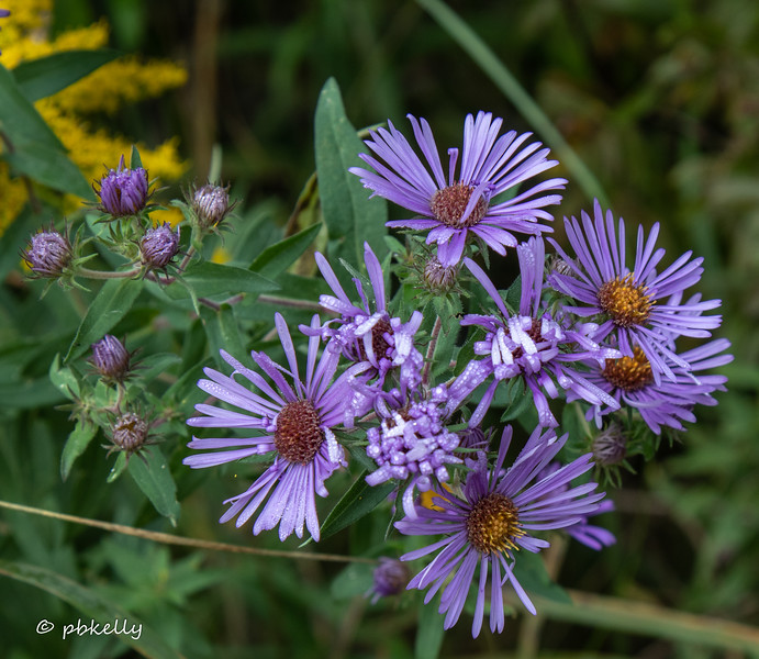 Cluster of bright New England Asters.  092720