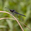 Slaty Skimmer male, very different looking than the female.  062616.