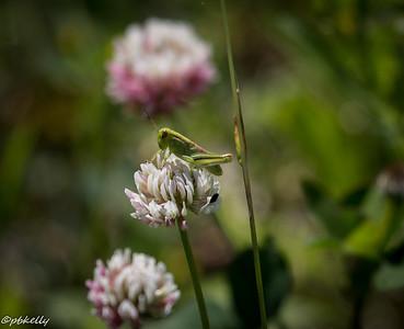 6/06/15.  Young grasshopper.