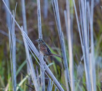 10/20/15.  Song Sparrow.