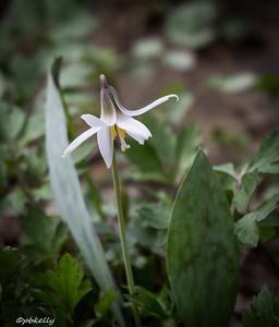 4/19/15.  White Trout-lily.  Erythronium albidum.