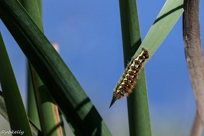 10/05/15.  Smartweed Caterpillar.