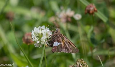 6/18/15.  Silver-spotted Skipper,  Epargyreus clarus.