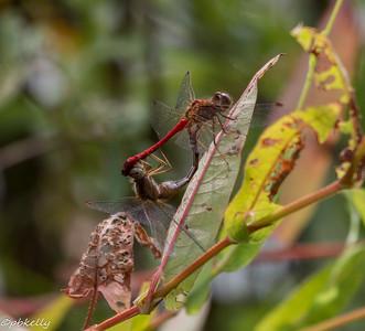 9/04/15.  Autumn Meadowhawks,  Sympetrum vicinum.