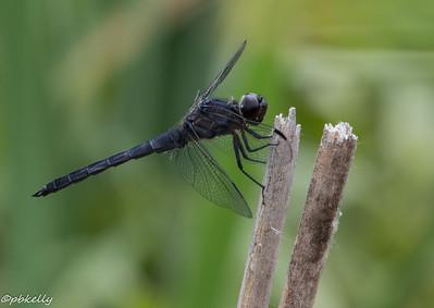 6/11/15.  Slaty Skimmer,  Libellula incesta.