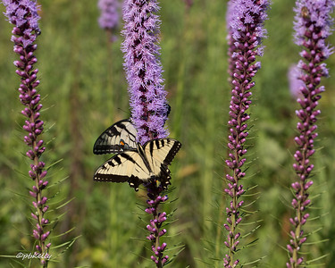7-27-16.  Tiger Swallowtails enjoying the Liatris.