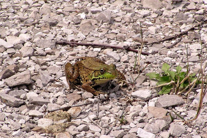 Small frog.  07/18/04