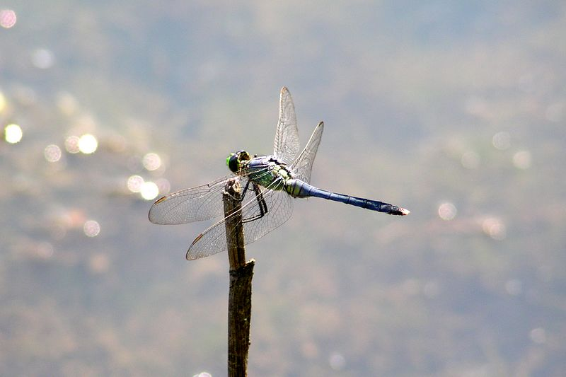 Eastern Pondhawk, Erythemis simplicicollis, out over the water.  They started to become more abundant about this time.  08/01/04