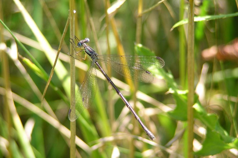 One of a number of spreadwings, Lestes sp. 08/01/04