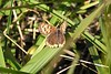 Bronze copper butterflies were still present, but like this one, were a little tattered.  10/10/04