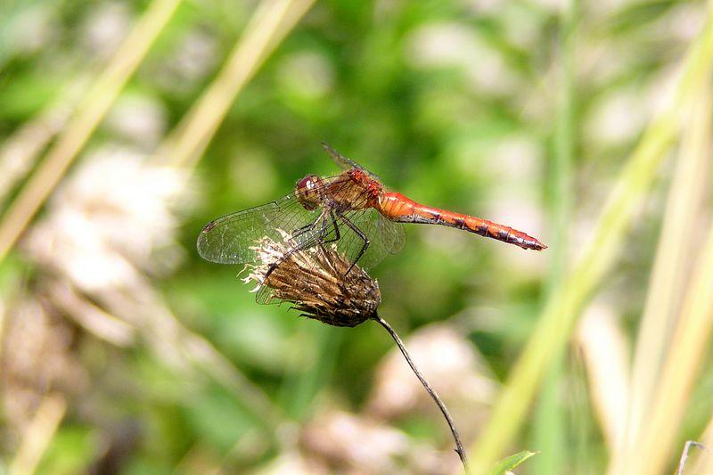 Ruby Meadowhawk, Sympetrum rubicondolus.  08/01/04