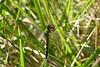 Female Eastern Pondhawk, Erythemis simplicicollis, munching  on some leggy prey.  This species are known to be fierce predators. 09/19/04