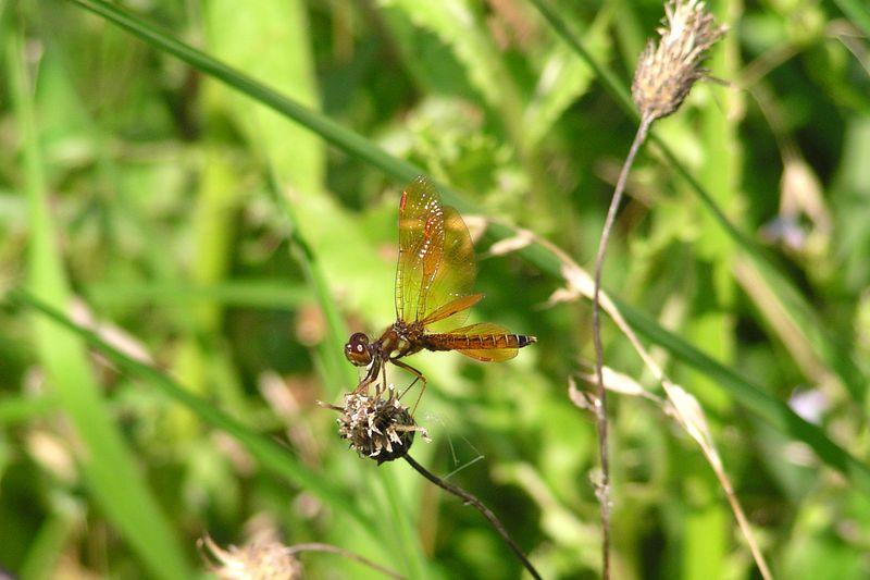 Male Eastern Amberwing, Perithemis tenera. 08/01/04