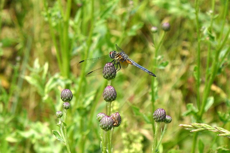 Blue Dasher on thistle buds.  Pachydiplax longipennis.  06/12/04