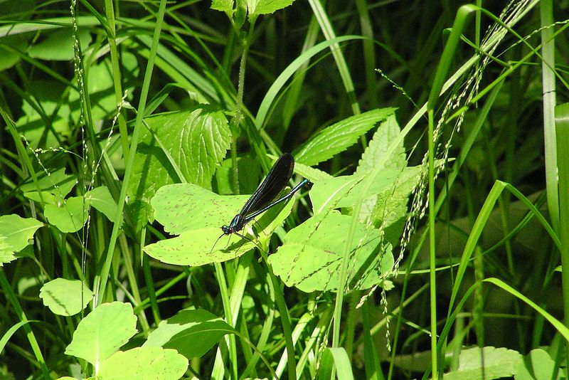 Ebony Jewelwings were found in sunny patches in the woods.  Calopteryx maculata.  05/29/04