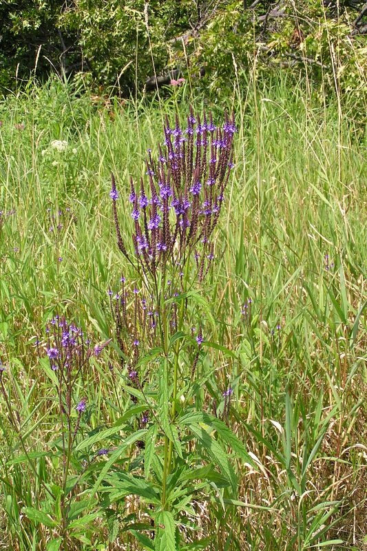 Blue Vervain, very common in the meadow at this time.   08/15/04