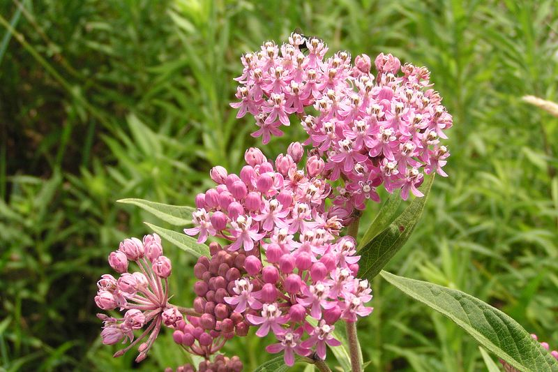 Swamp Milkweed was brilliant, and attractive to many insects. 07/18/04