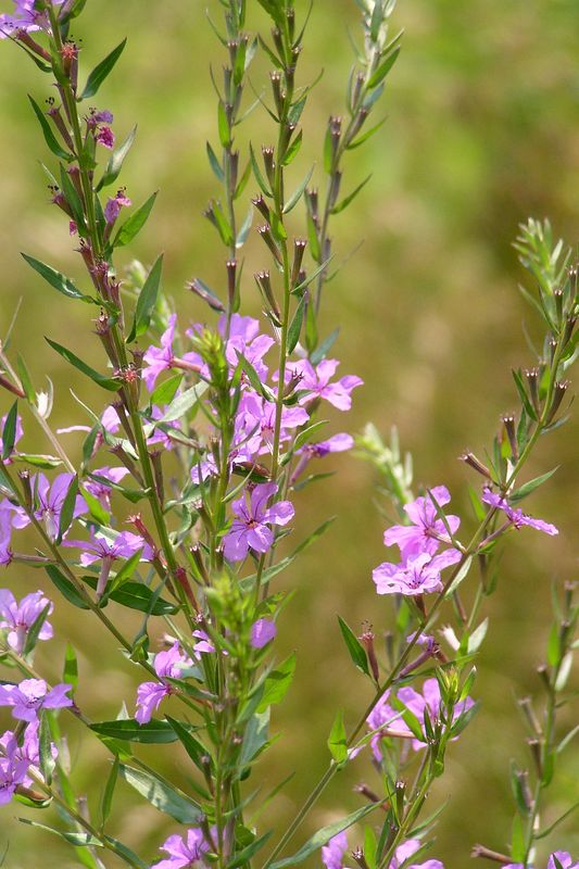 Some of the summer wildflowers. Loosestrife. 07/03/04