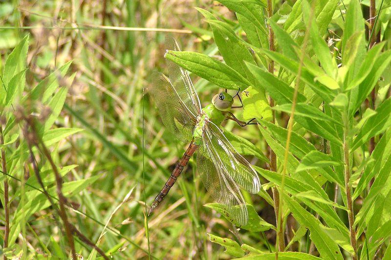 Teneral Common Green Darner, Anax junius.  07/18/04