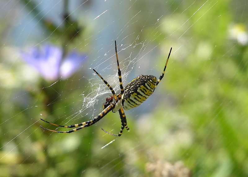There are large Banded Argiope webs at the edges of the wet areas in October.  This one has some sort of small prey.  October 1, 2005.