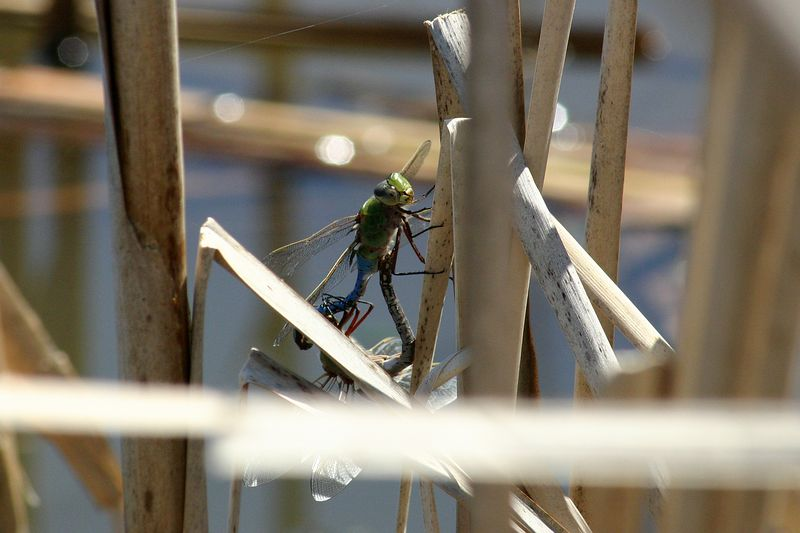 April 9, 2005.  First Odonata on the Site.  Common Green Darner, Anax junius, in wheel position.  These are migrants, coming in from farther south, who will lay their eggs.  There will be an emergence in the fall of another generation which will migrate in the opposite direction.  There are only a few species which migrate.