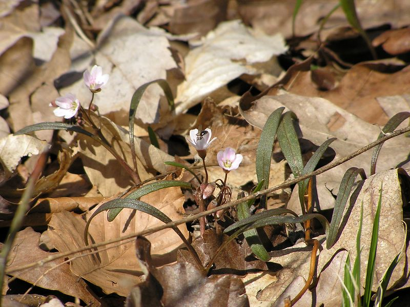 04/09/2005  Spring Beauties with Pollinator
