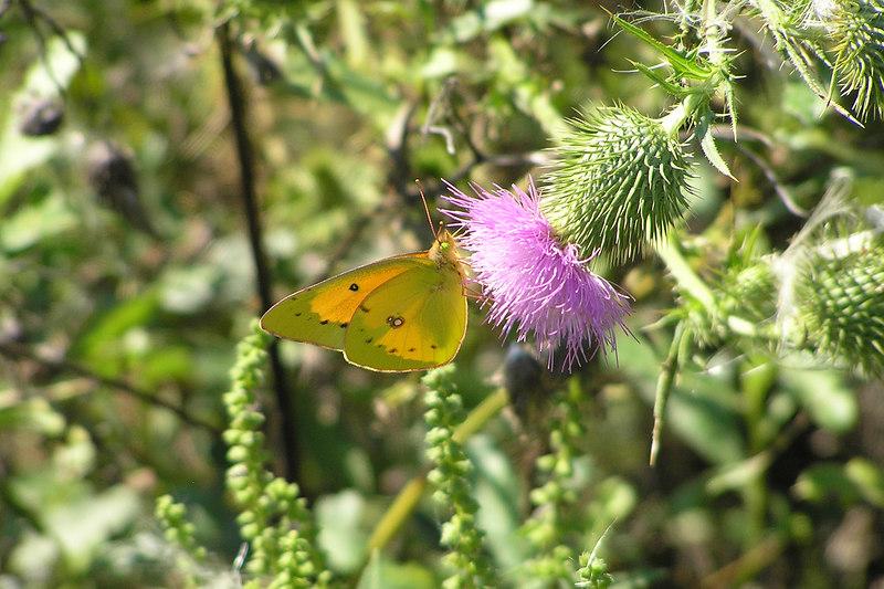 Sulphurs appeared in abundance in September.  September 5, 2005.