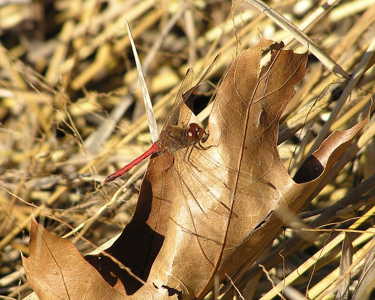 Very appropriate photo for an Autumn Meadowhawk, on a fallen leaf.  November 11, 2005.