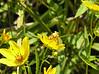 Tickseed sunflower with Goldenrod Stowaway, Cirrhophanus triangulifer.  September 5, 2005.
