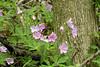 Wild Geraniums May 15, 2005